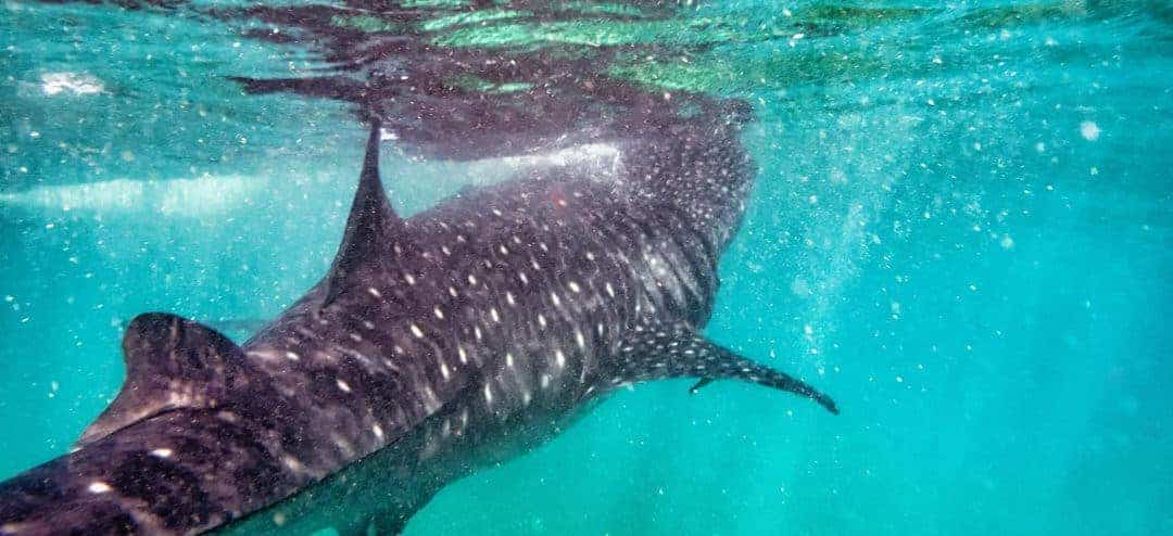 Whale Shark Experiences in Baja and the Philippines