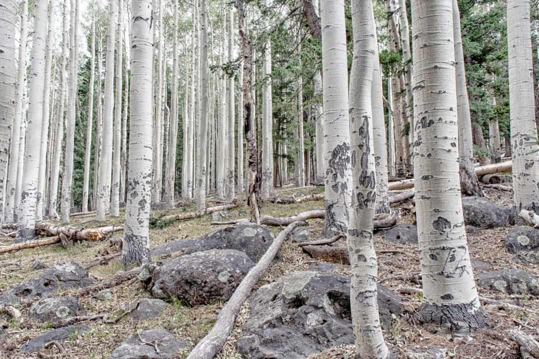 Grove of aspen trees on Abineau trail