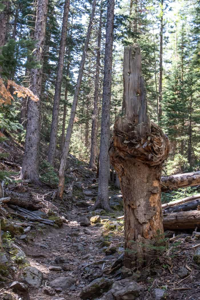 Treelined trail in Flagstaff