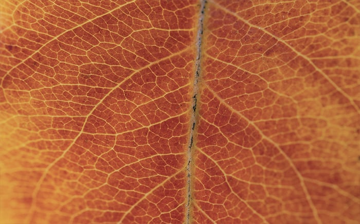 Closeup of fall leaf showing vein pattern