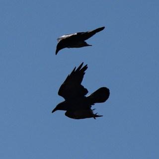 Ravens flying in blue sky