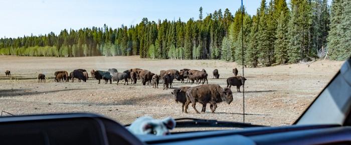 Buffalo roaming the north rim area