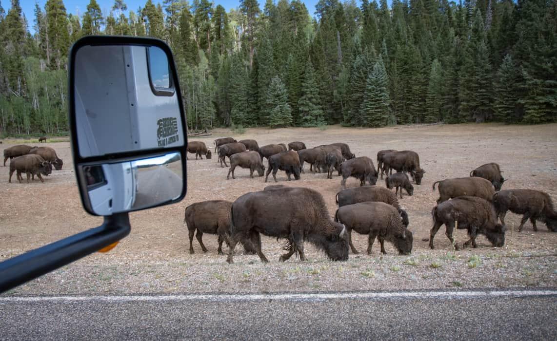 RV adventure includes Buffalo at the North Rim Grand Canyon