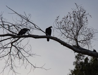Vultures in the desert
